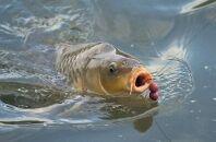 Основные моменты и полезные советы по карповой рыбалке