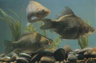 Общая информация о размножении и росте карася