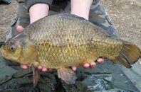 Крупный карась и правила рыбалки на него