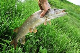 Особенности летней рыбалки на щуку