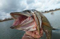 Техника троллинга при рыбалке на щуку
