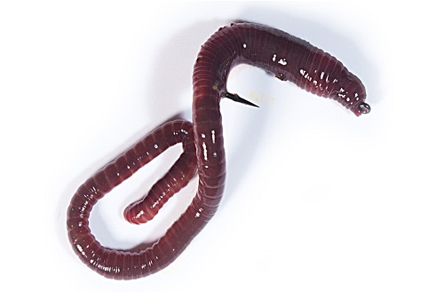 насаживание червя