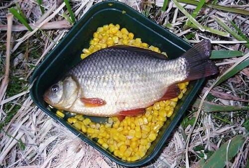 рыба карась как сделать прикормку