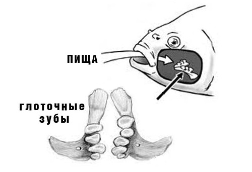 зубы у карпа