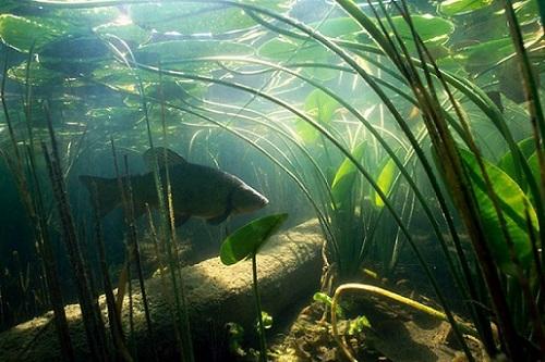 карп под водой