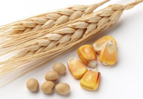 пшеница на прикормку