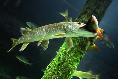 мелкая рыба и щука
