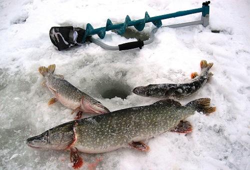 щука на льду