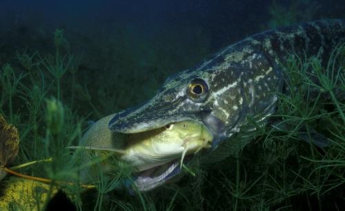 щука и рыба