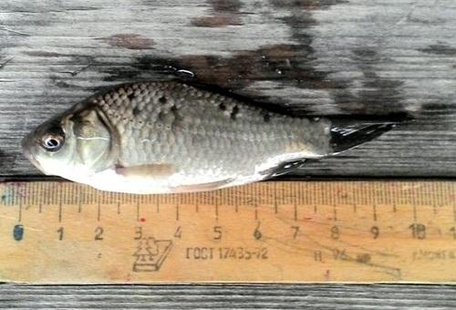 рыбка на щуку